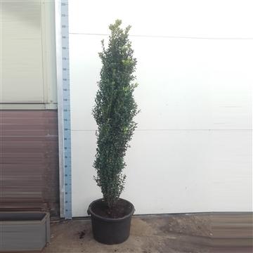 Buxus sempervirens Graham Blandy - 160cm Zuilvorm
