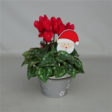 Cyclaam mini in decopot kerst