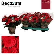 Begonia  grace  ''cozy''