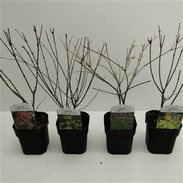 Acer palm. mix tray 3 soorten