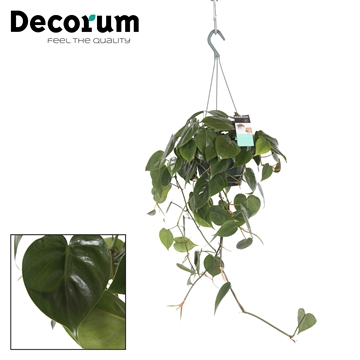 Philodendron Scandens (Hang)