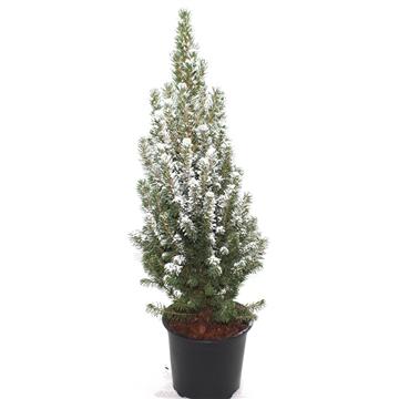Picea Perfecta met Sneeuw