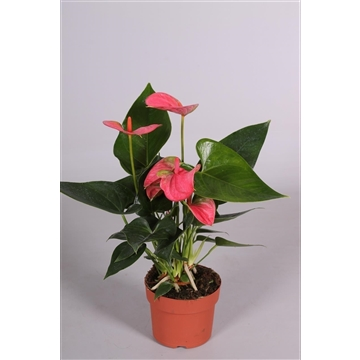Anthurium Sweet Dream Blanco hoes