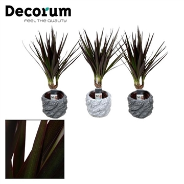Dracaena Magenta stam 7 cm in pot Roxy (Decorum)