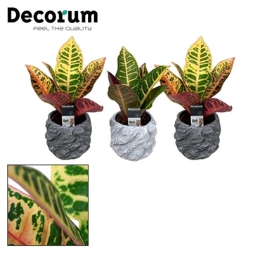 Croton Petra kopstek 7 cm in pot Roxy (Decorum)
