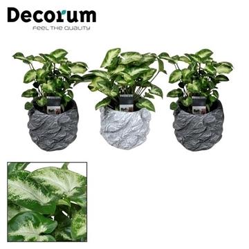 Syngonium Pixie 7 cm in pot Roxy (Decorum)