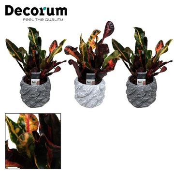 Croton Mammi kopstek 7 cm in pot Roxy (Decorum)