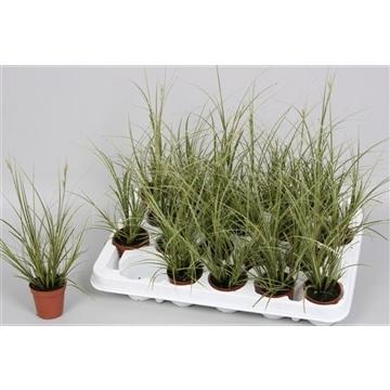 Carex brunnea 'Jubilo'