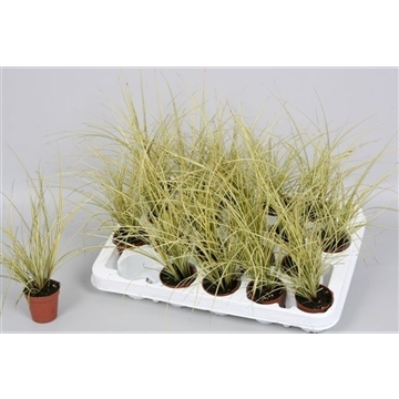 Carex brunnea 'Jenneke'