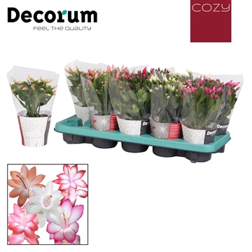 Schlumbergera - 10,5 cm - Mix met COZY potcover - Decorum