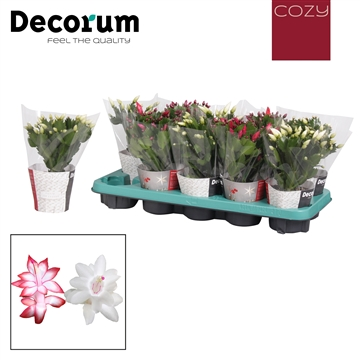 Schlumbergera - 10,5 cm -  Red/White - met COZY potcover - Decorum