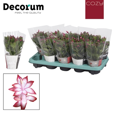 Schlumbergera - 10,5 cm - Red (Exotic) met COZY potcover - Decorum