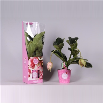 MoreLIPS® Medinilla magnifica in giftbox