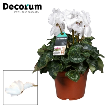Cyclamen Halios Curly white