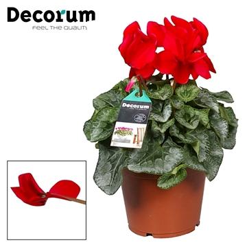 Cyclamen Halios Decora red