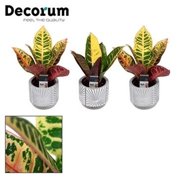 Croton Petra kopstek 7 cm in pot Lizz (Decorum)