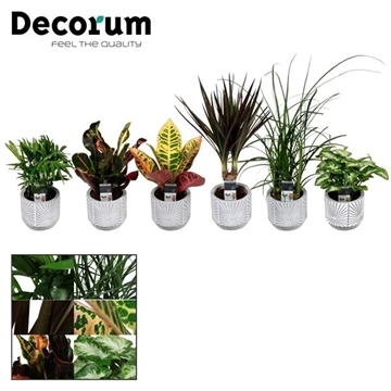 Keen on Green mix 7 cm in pot Lizz (Decorum)