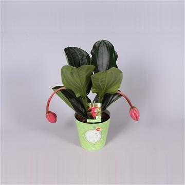 MoreLIPS® Medinilla magnifica Flamenco 1 etage 2 flower buds in potcover