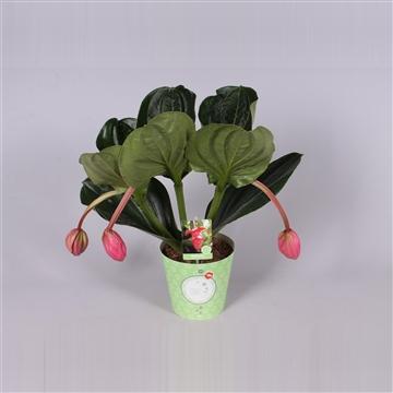 MoreLIPS® Medinilla magnifica Flamenco 1 etage 3 flower buds in potcover