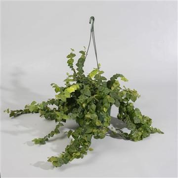 Ficus Sunny groen in hangpot