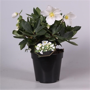 Helleborus Gold Collection® Niger Jerry