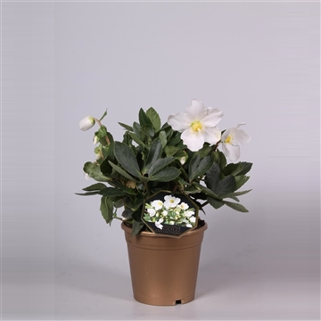Helleborus Gold Collection® Niger Jerry in gouden pot