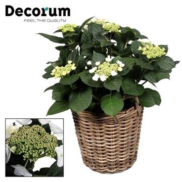 Hydrangea Teller Benxi (Wit) 7-12  kop in mand  incl. waterreservoir (Decorum)