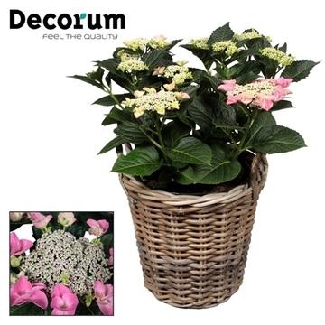 Hydrangea Teller Nizza Pink 7-12  kop in mand  incl. waterreservoir (Decorum)