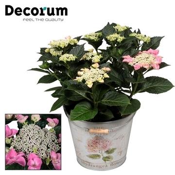 Hydrangea Teller Nizza Pink 7 - 12 kop in Bucket (Decorum)