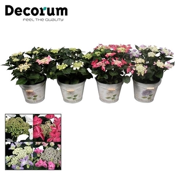Hydrangea Teller diverse kleuren 7-12 kop in Bucket (Decorum)