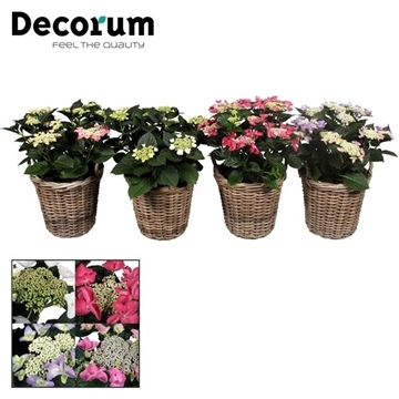Hydrangea Teller div.kleuren 7 - 12 kop in mand  incl. waterreservoir (Decorum)