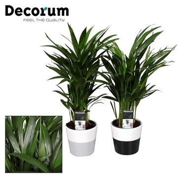 Collectie Black & White - Dypsis (Areca) 30+ zaden in Amy 2 tone (Decorum)