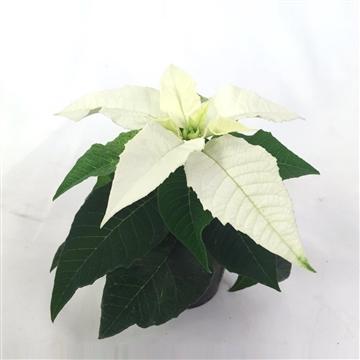 HAWAII STAR PURE WHITE, PRINCETTIA (6CM) A1