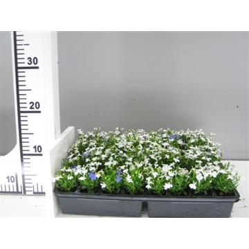 Lobelia wit / Lobelia erinus white