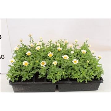 Margriet wit / Chrysanthemum paludosum