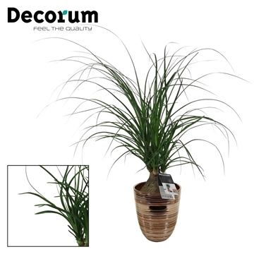 Beaucarnea Bol 12 cm in Orlando brons (Decorum)
