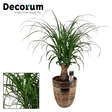 Beaucarnea Recht 12 cm in Orlando brons (Decorum)