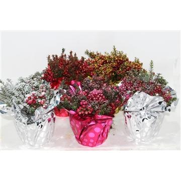 Pernettya P17 Kerst met Rondello en Glitters Gemengd laag