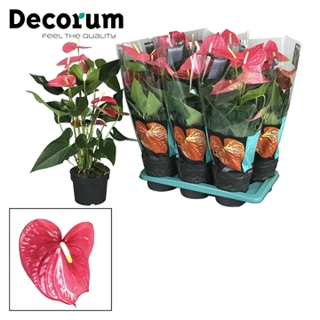 Anthurium Maine pot 17