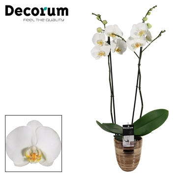 Phalaenopsis 2 tak wit in Orlando brons (Decorum)