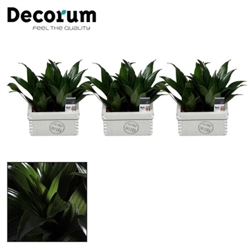 Dracaena Compacta duo  in Tess keramiek  (Decorum)