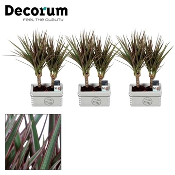 Dracaena Tiny Tummy Bicolor duo in Tess keramiek (Decorum)