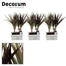 Dracaena Tiny Tummy Magenta & Bicolor duo in Tess keramiek (Decorum)