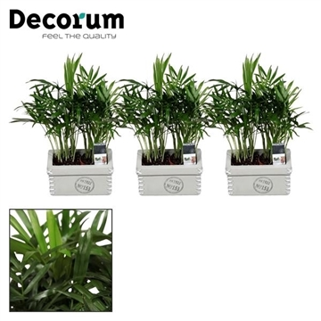 Chamaedorea elegans duo in Tess keramiek (Decorum)
