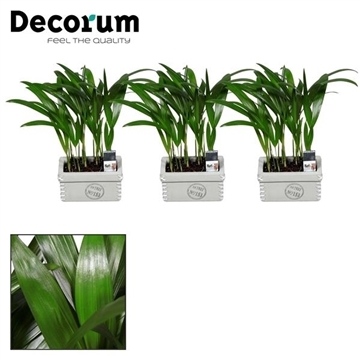 Dypsis lutescens (Areca) duo in Tess keramiek (Decorum)