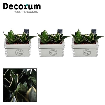Sansevieria gemengd duo in Tess keramiek (Decorum)