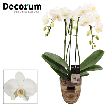 Phalaenopsis umbrella wit 3 tak in Orlando brons (Decorum)