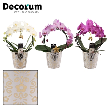 Phalaenopsis boog mix in Jen met sterretjes (Decorum)