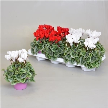 Cyclamen SS Picasso Rood-Wit mix