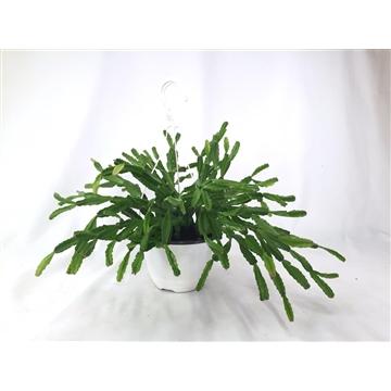 Sculpture Plant   - S. x exotica, in 14 cm hanging pot